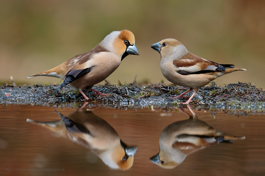 Hawfinch mating dance for female