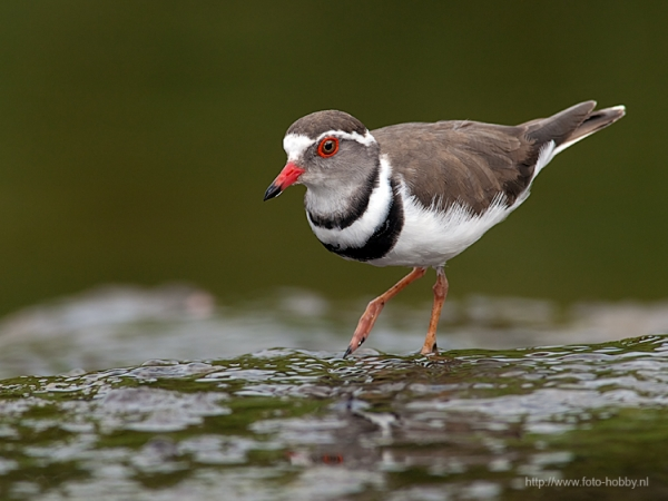 Three-banded plover_1